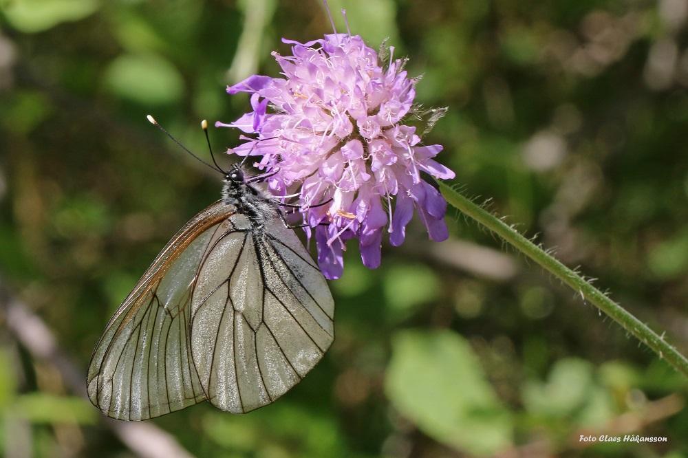 Hagtornsfjäril-190628_1000