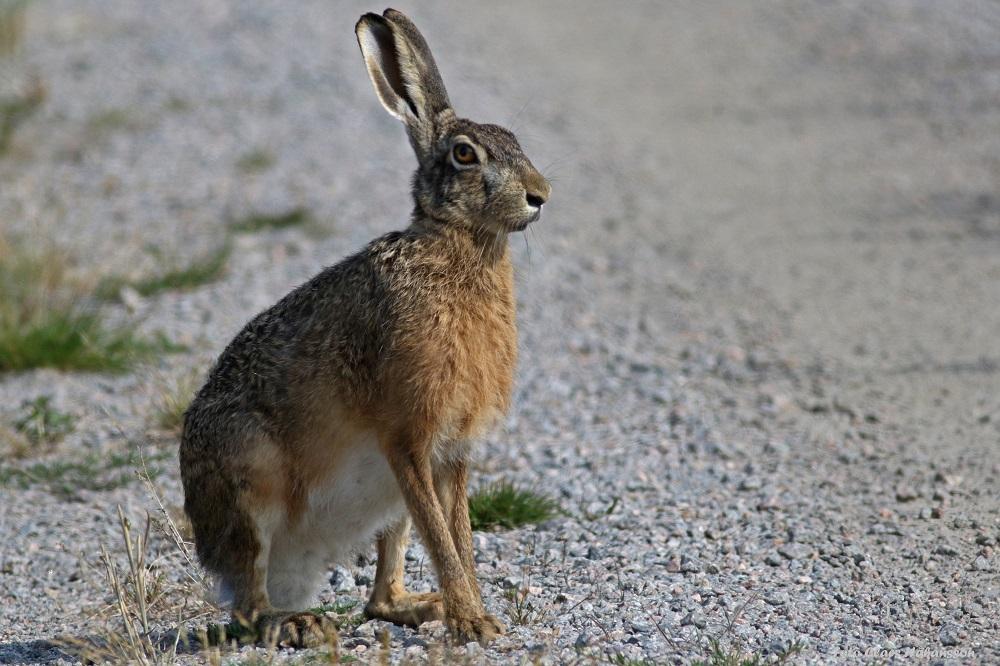 hare-200810_1_1000